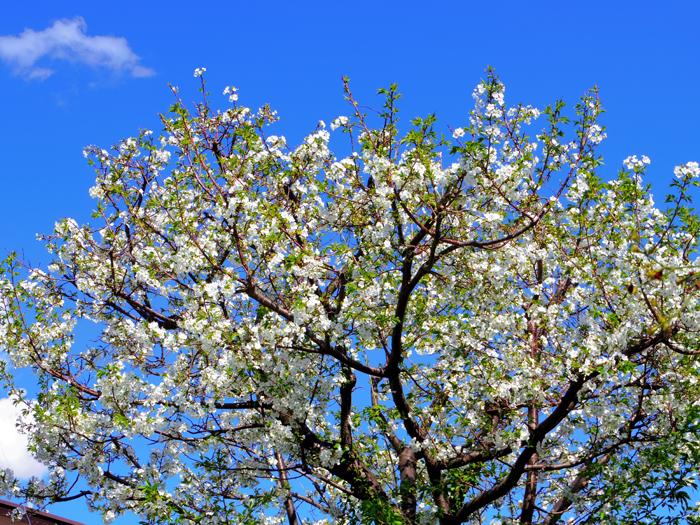 葉桜と魔笛-太宰治-狐人的あらすじ-イメージ